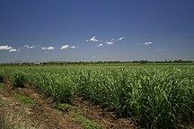 Queensland-Economia-Sugarcane field in Queensland, Australia a