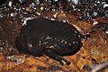 Sulawesi frog (Kaloula baleata?) (8383957992).jpg