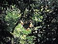 Sumatran Orangutan Pongo abelii (7930411566).jpg