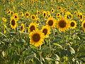 Sunflower Manno Town honoyama20150715up.JPG