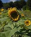 Sunflower opening (286705838).jpg