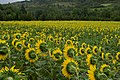 Sunflowers (2724081469).jpg