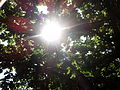 Sunlight streaming through the leaves of oak tree ().jpg