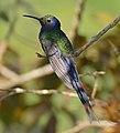 Swallow-tailed Hummingbird (Eupetomena macroura) (30670278463).jpg
