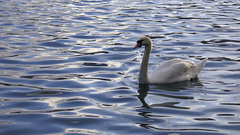 File:Swan in lake Bled (8697758735).jpg