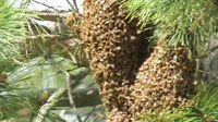 File:Swarm of Bees.webm