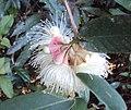 Syzygium Munronii 14.JPG