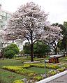 Tabebuia Roseoalba (White Ipe) (28610022640).jpg