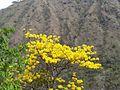 Tabebuia ochracea. Corteza amarilla. Cangrejal de Acosta. Costa Rica.jpg