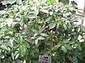 Tabernaemontana divaricata habitus - JBM.jpg