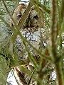 Tawny Owl (6884443610).jpg