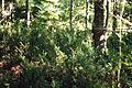 Taxus canadensis 1218063.jpg