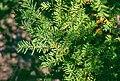 Taxus canadensis 3-eheep (5098082080).jpg