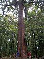 Teak tree.jpg