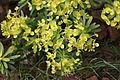 Teguise - Guanapay - Euphorbia regis-jubae 03 ies.jpg