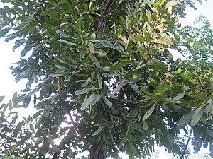Terminalia elliptica - Image: Terminalia elliptica NP