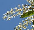 Terminalia phanerophlebia, bloeiwyses, Manie van der Schijff BT, h.jpg