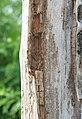 Termite damage (2719169693).jpg