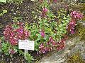 Teucrium chamaedrys subsp. chamaedrys - Palmengarten Frankfurt - DSC02009.JPG