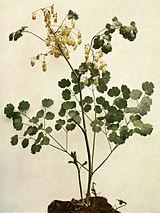 Thalictrum dioicum WFNY-071.jpg