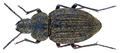 Thalpophila abbreviata (Fabricius, 1801) (28823918842).png