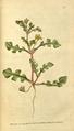 The Botanical Magazine, Plate 67 (Volume 2, 1788).png