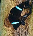 The Ninja (Amnosia decora) feeding on exuding sap in company of a snail (14070057339).jpg