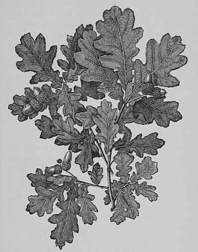 The Oak (Marshall Ward) Fig 20.jpg