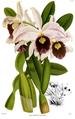 The Orchid Album-01-0032-0009-Laelia purpurata williamsii.png