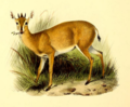 The book of antelopes (1894) Cephalophus coronatus.png