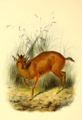 The book of antelopes (1894) Cephalophus natalensis.png