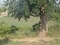 The century-old oak (2009). (15306612932).jpg