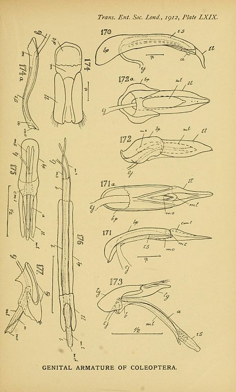 Filethe Comparative Anatomy Of The Male Genital Tube In Coleoptera