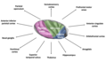 The insula and connecting brain regions.png
