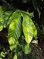 Theobroma cacao 08.JPG