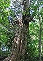Thuja occidentalis (eastern arbor vitae tree) (Natural Bridge State Park, Virginia, USA) 2 (27804946205).jpg