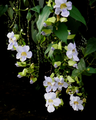 Thunbergia laurifolia (Flowers).png