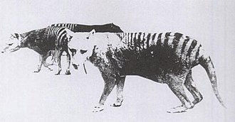 Thylacine - One of only two known photos of a thylacine with a distended pouch, bearing young. Adelaide Zoo, 1889