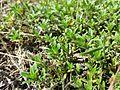 Thymus serpyllum s. str. sl3.jpg