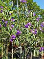 Tibouchina Granulosa (Purple Glory Tree) (28278215883).jpg