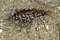 Tiger Beetles (Lophyra flexuosa) mating (36281138145).jpg