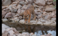 Tiger in Ranthambore 3.png