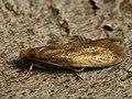 Tinea ?pellionella - Case-bearing clothes moth - Моль шубная (40541130164).jpg