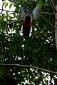 Tocororo cubano (Priotelus temnurus) 2.jpg