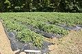 Tomato field in Namegata, Ibaraki 02.jpg