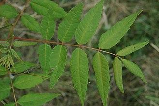 Toona sinensis - Leaf (unusual specimen with terminal leaflet)