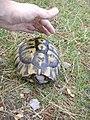 Tortoise Kosovo.jpg