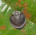 Tortoise beetle (15179842645).jpg