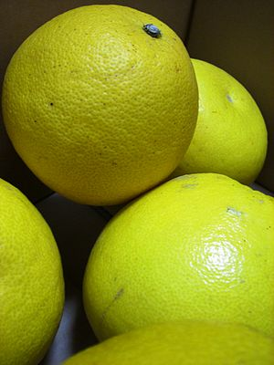 Tosa Pomelo