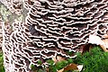 Trametes versicolor (Turkeytail, D= Schmetterlingstramete, F= Tramète versicolore, NL= Gewoon elfenbankje) gives always nice accents at treetrunks - panoramio.jpg